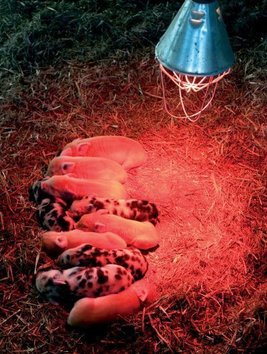 Инфракрасная лампа 230V, 150W E27/5000h, HELIOS (Польша)