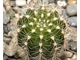 Echinopsis 'Competitor's Tears' x 'Doris' (D=20-25mm)