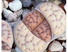 Lithops schwantesii C077 (MG-1710.1) - 5 семян