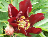 Пион Дарк Айз (paeonia Dark Eyes)