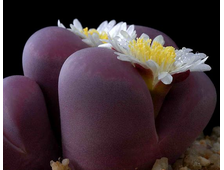 Lithops optica cultivar 'Rubra' F3 (MG-1685.5) - 5 семян