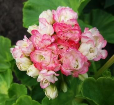 Happy Appleblossom Rosebud фото