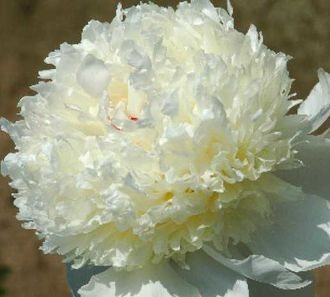 Пион Истерн Стар (Paeonia Eastern Star)