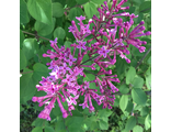 Сирень гибридная Дарк Перпл (Syringa Dark Purple)