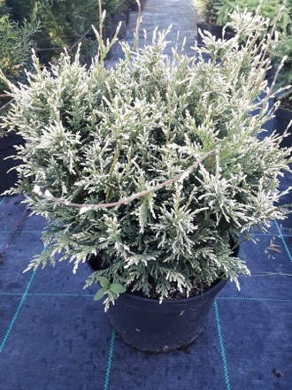 Кипарисовик горохоплодный Уайт Бьюти (Chamaecyparis pisifera White Beauty), 0,5 л