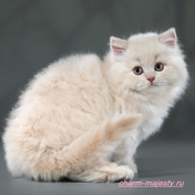 photo british longhair kitten female fown tortie cattery Charm Majesty available