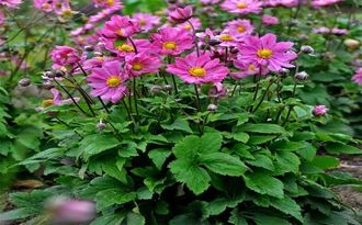Анемона Anemone Little Summer Breeze (NEW