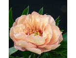 Пион Сонома Вэлком (Paeonia Sonoma Welcome)
