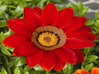 Гацания GAZANIA NEW DAY®RED SHADES