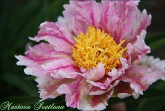 Paeonia Pink Firefly (Розовый Светлячок)