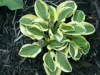 Хоста Лаки Маус (Hosta Lucky Mouse)