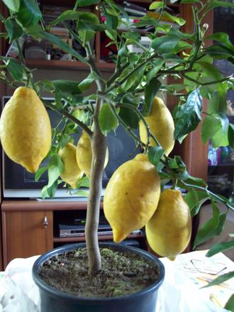 Цитрусовые - Лимон Лунарио (Сицилийский)