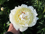 Пион Брайдл Грэйс (Paeonia Bridal Grace)