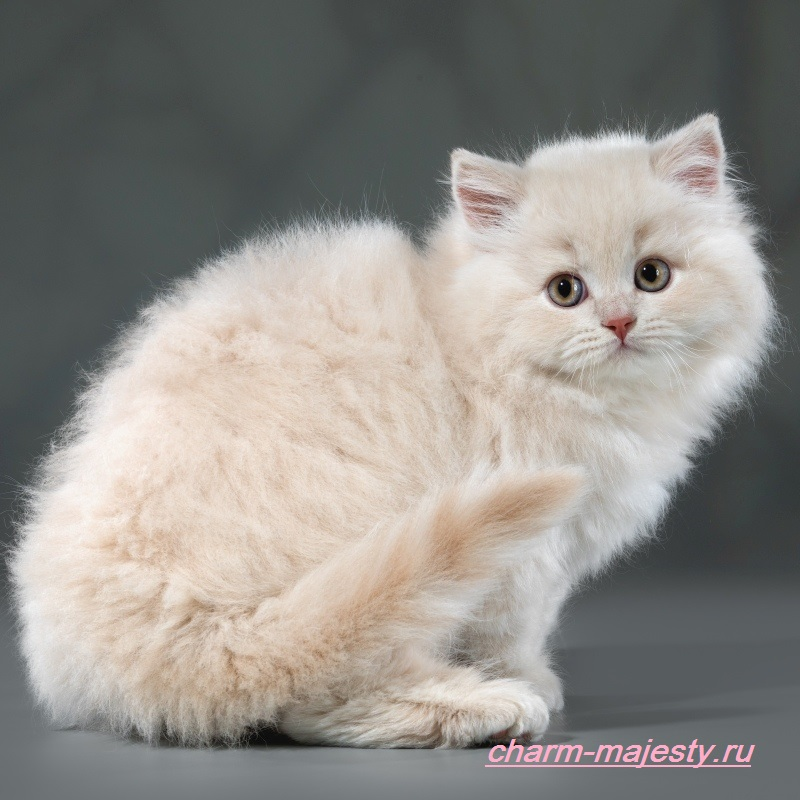 photo British kittens of cattery charm majesty available longhair fawn tortie