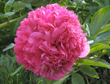 Пион Анджело Кобб Фриборн (Paeonia Angelo Cobb Freeborn)
