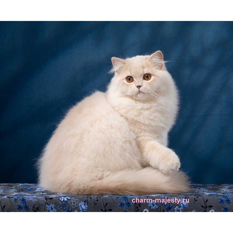 photo British longhair kid cream cattery charm majesty