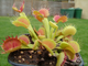 "Dionaea muscipula ""Cross teeth""#1"