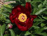 Пион Реворд (Paeonia Reward)
