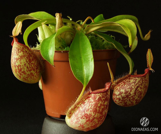 "Непентес Хукериана Nepenthes ""Hookeriana"" Кувшиночник"