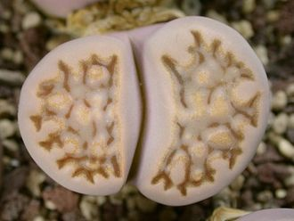 Lithops hallii C045 (MG-1609.3) - 5 семян