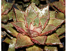Echeveria purpusorum (2 листочка)