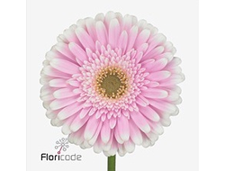 Gerbera diamond maxime