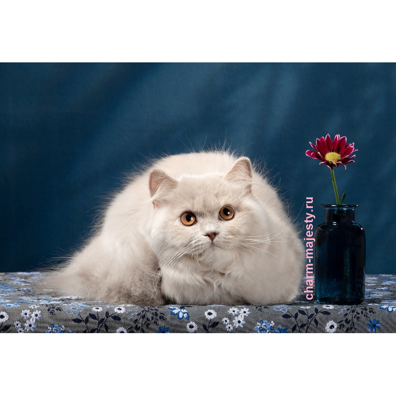 photo British longhair kitten fawn tortie cattery charm majesty
