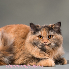 photo British longhair female tortie carrier cinnamon cattery charm majesty