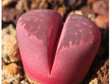 Lithops optica cultivar 'Rubra' C287 (MG-1685) - 5 семян