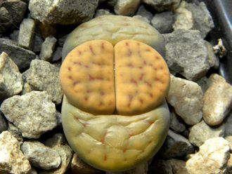 Lithops schwantesii C079 (MG)