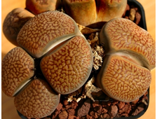 Lithops hookeri v.marginata (red-brown form) C154 (MG-1616.62) - 5 семян
