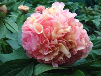 Пион Лоис Чойс (Paeonia Lois Choice)