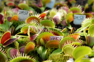 Dionaea muscipula Giant big mouth