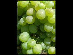 Кеша. Саженцы винограда