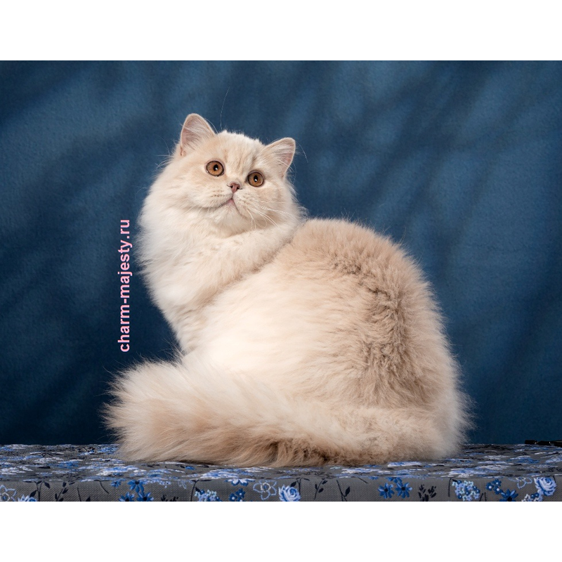 photo British longhair kitten lilac tortie carrier cinnamon cattery charm majesty