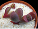 Pleiospilos nelii Royal Flush (MG-1833) - 5 семян