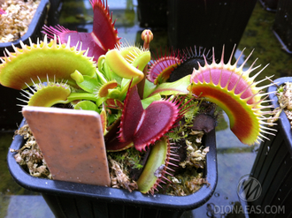 "Dionaea muscipula ""Big teeth red giant"""