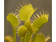 "Dionaea muscipula ""Yellow Fused Tooth"""
