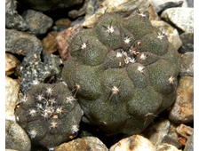 Copiapoa hypogaea KP 815 C (D=15-20mm) с деткой