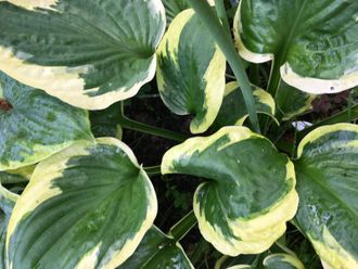 Хоста Твайлайт (Hosta Twilight)