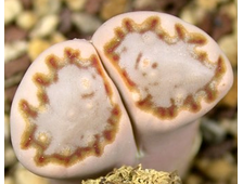Lithops julii ssp fulleri C203 (MG-1621.18) - 5 семян