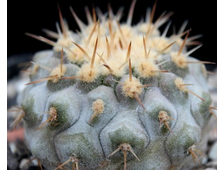 Copiapoa columna-alba yellow form JN 1295 (Чехия) - 5 семян