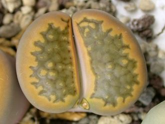 Lithops hallii C174 (MG-1604) - 5 семян