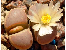 Lithops amicorum TS67 se Aus (MG-1541.983) - 5 семян