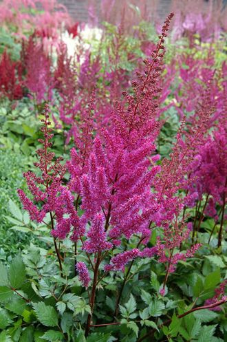 Астильба Ю энд Ми Форевер (Astilbe You and Me Forever)