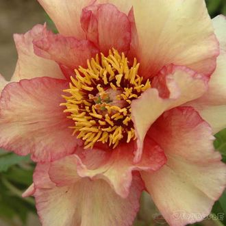 Пион Раффлд Сансет (Paeonia Ruffled Sunset)