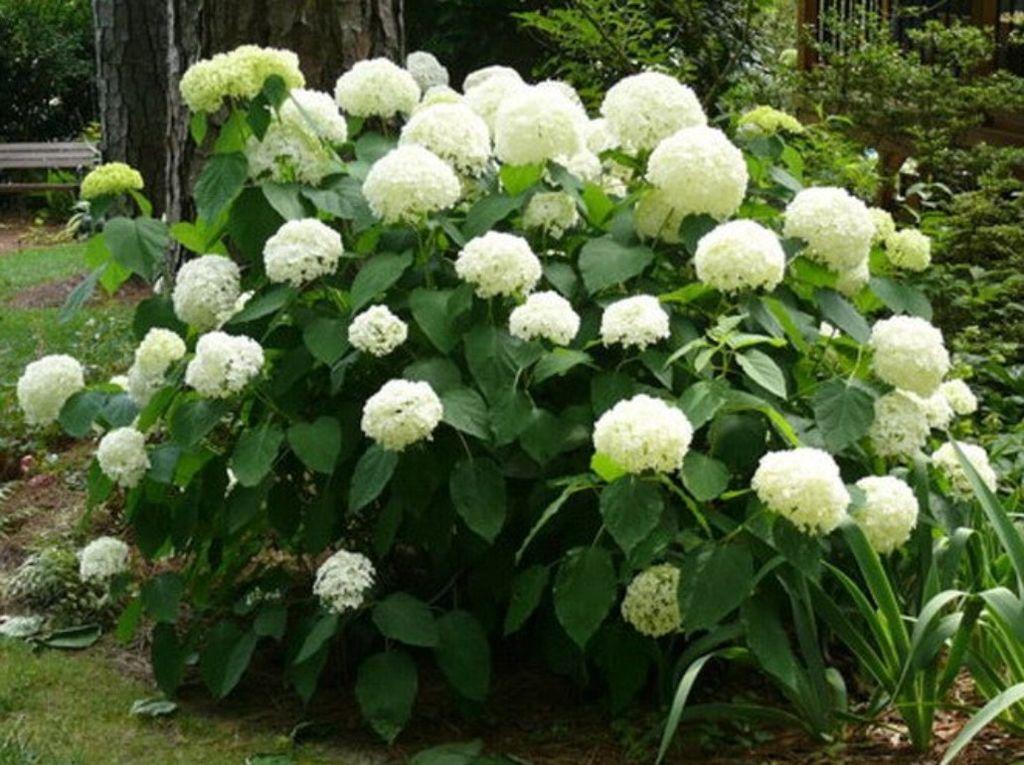 Древовидная гортензия в саду