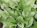 Хоста Зебра Страйпс (hosta Zebra Stripes)