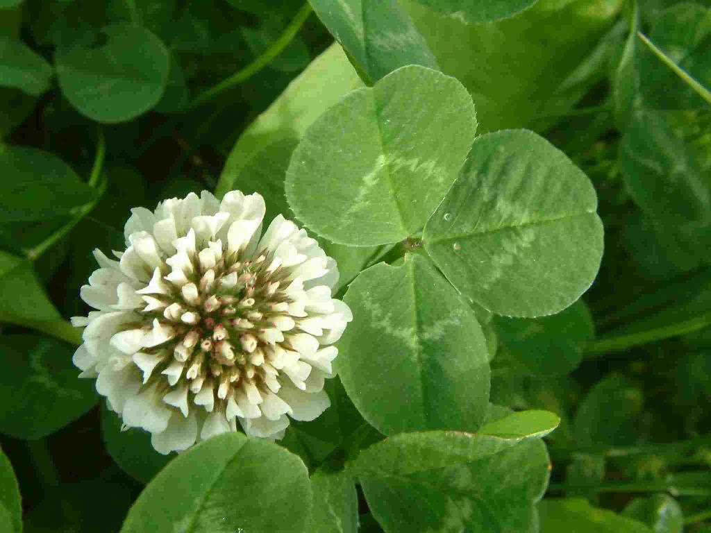 clover фото