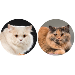 photo British longhair cream and tortie carrier cinnamon cattery charm majesty